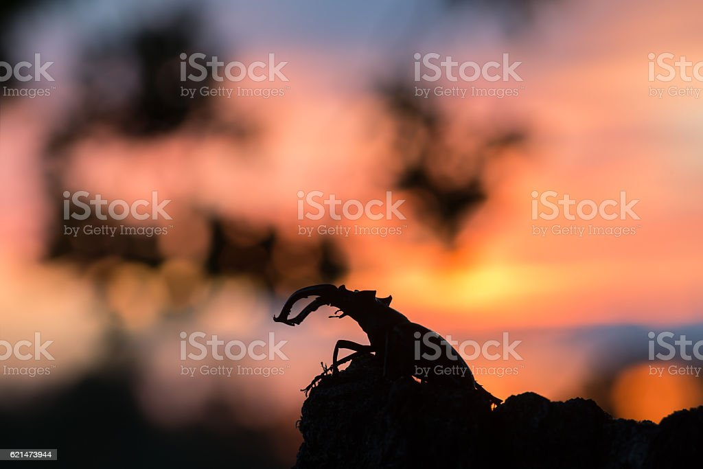 Male stag beetle, Lucanus cervus, sunsetting in the background stock photo