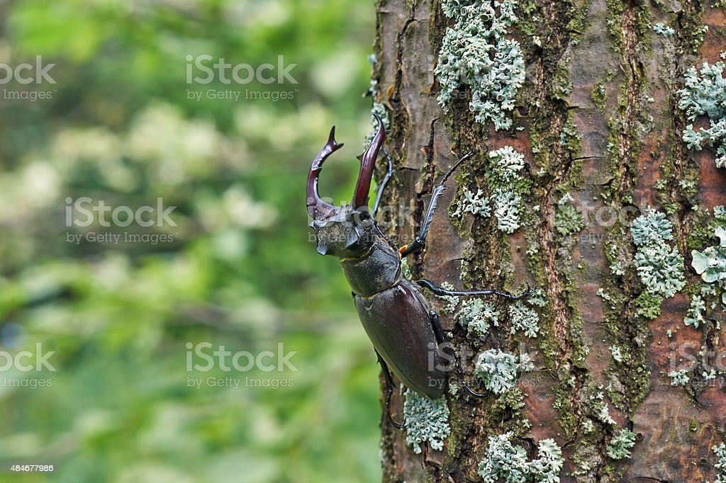 Male stag beetle  on the oak. stock photo