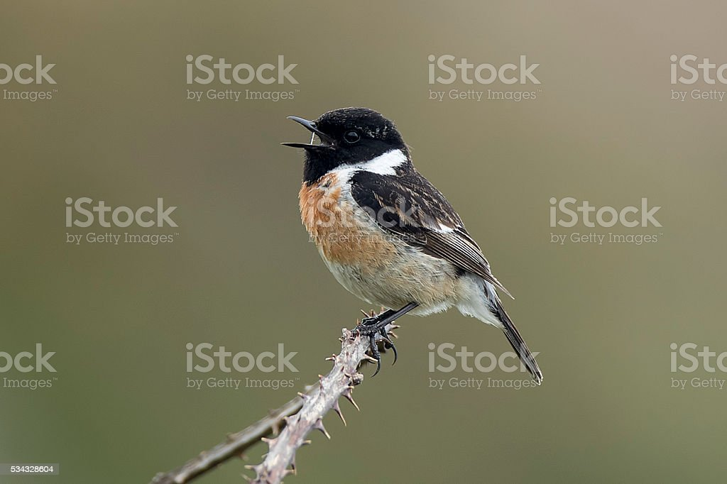 Male Stonechat singing stock photo