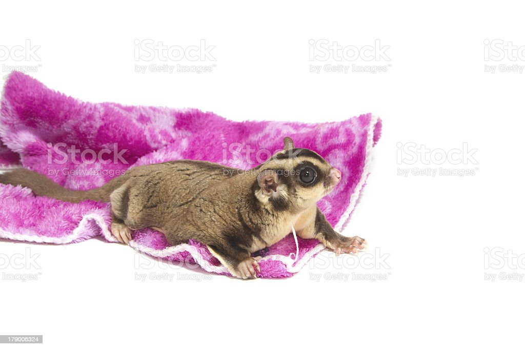 male sugarglider royalty-free stock photo