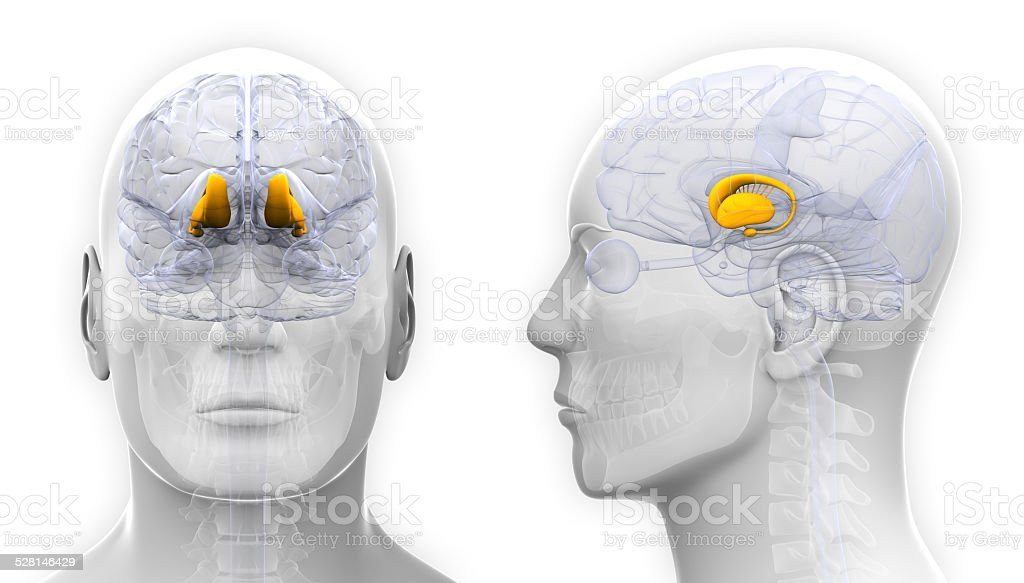 Male Thalamus Brain Anatomy - isolated on white stock photo