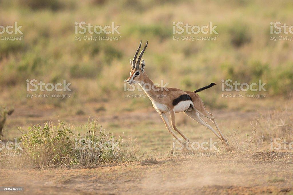 Male Thompson's Gazelle running in Amboseli National Park, Kenya stock photo