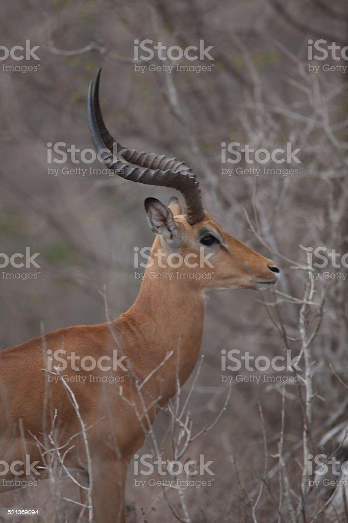 Male Thomson's Gazelle stock photo