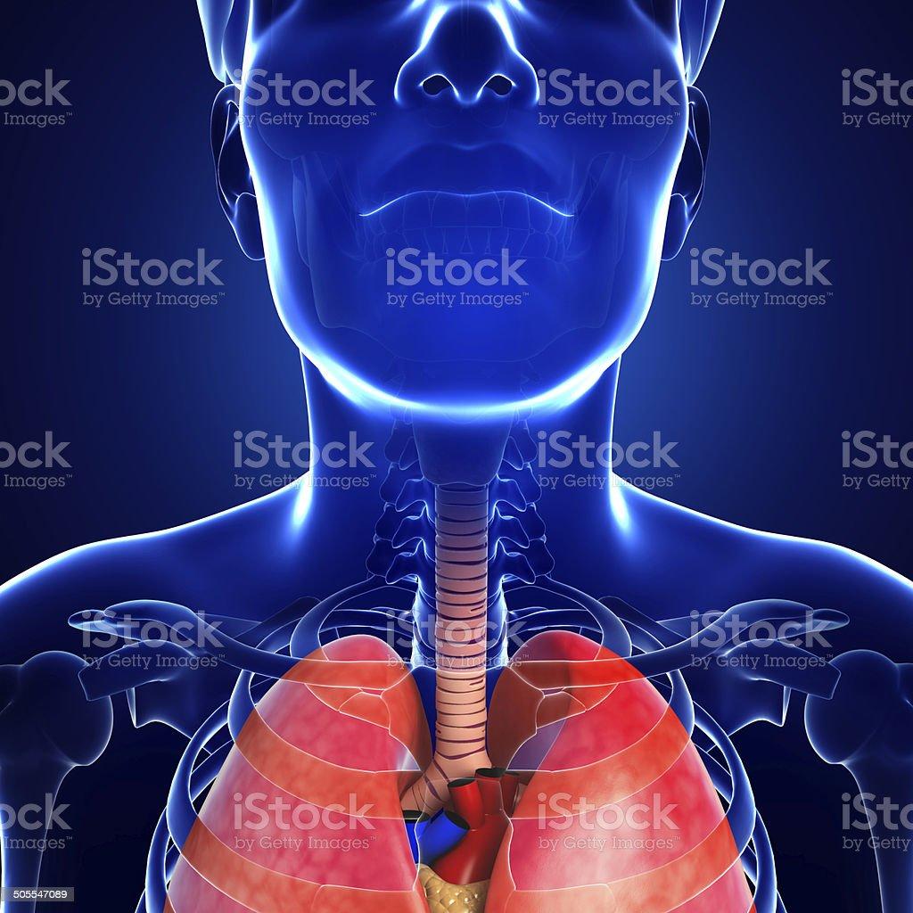 Male throat anatomy stock photo