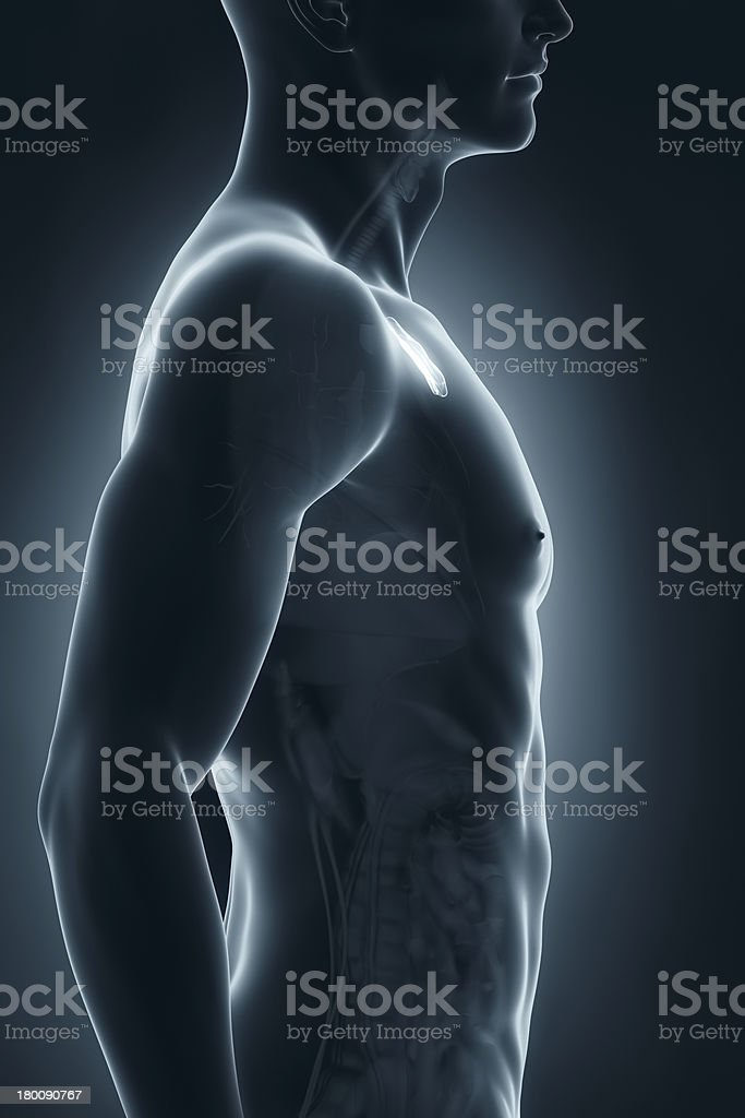 Male thymus anatomy lateral view stock photo