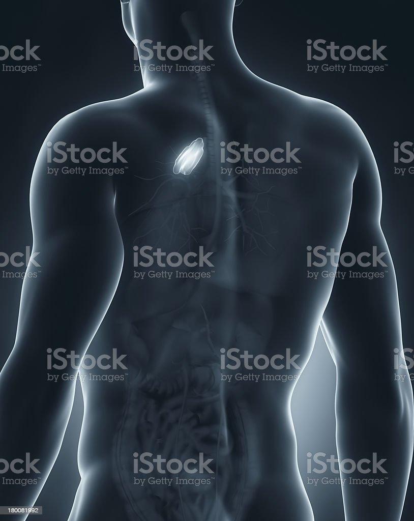 Male thymus anatomy posterior view stock photo