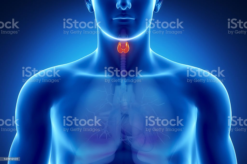Male thyroid anatomy stock photo