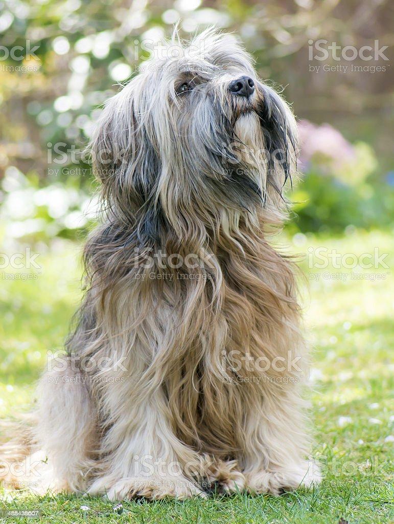 Male Tibetan Terrier Dog stock photo