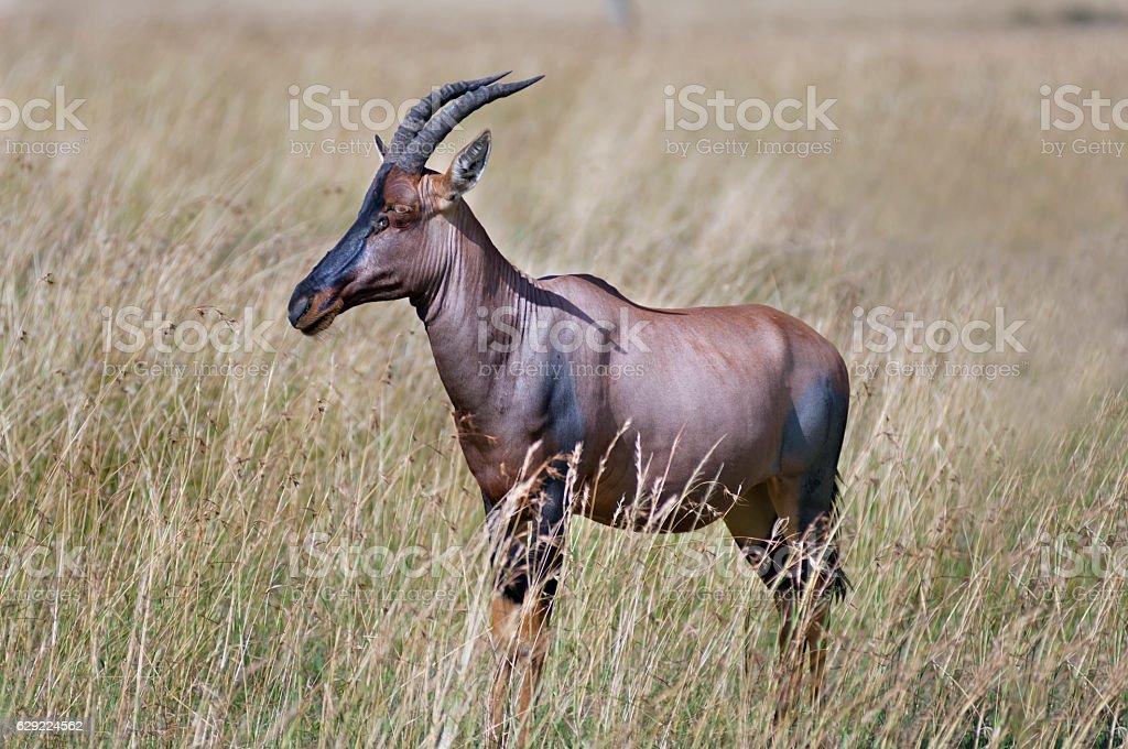 Male Topi or Tsessebe stock photo