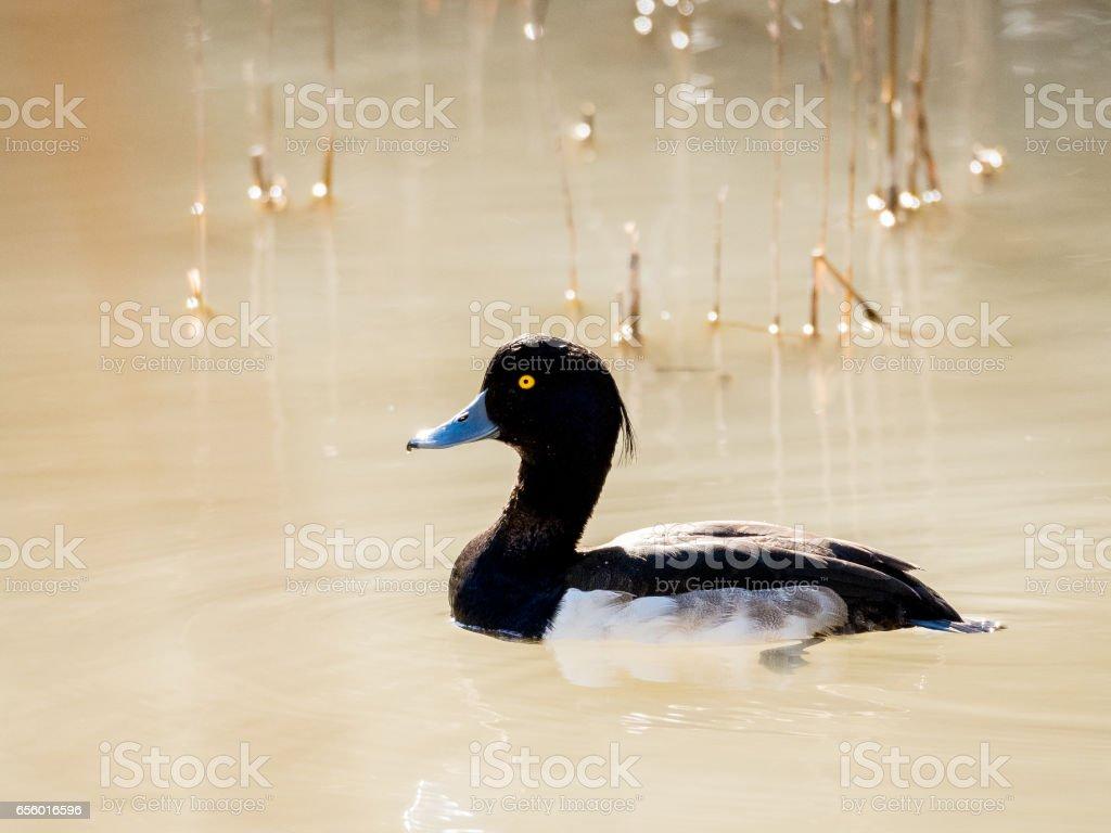 Male tufted duck (Aythya fuligula) swimming stock photo