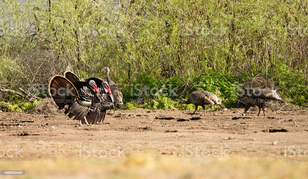 Male Turkey Courting Mating Tall Growth Big Wild Game Bird stock photo