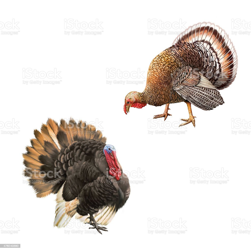 male turkey eating food bend down head, and standing turkey stock photo