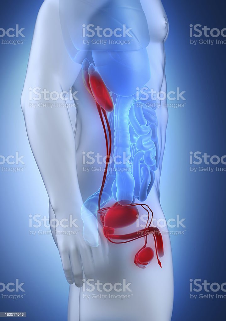 Male urogenital anatomy lateral view royalty-free stock photo