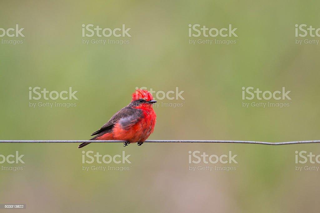 Male Vermillion Flycatcher stock photo