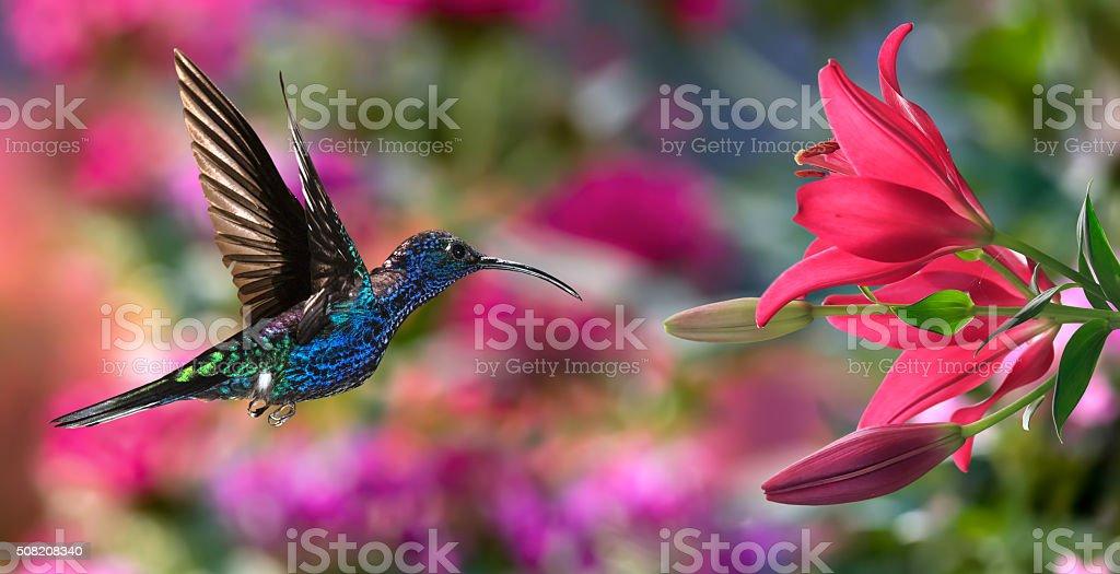 Male violet sabrewing (Campylopterus hemileucurus) in flight stock photo