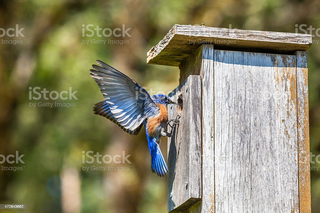 Male Western Bluebird Trying to Claim a Nest Box stock photo