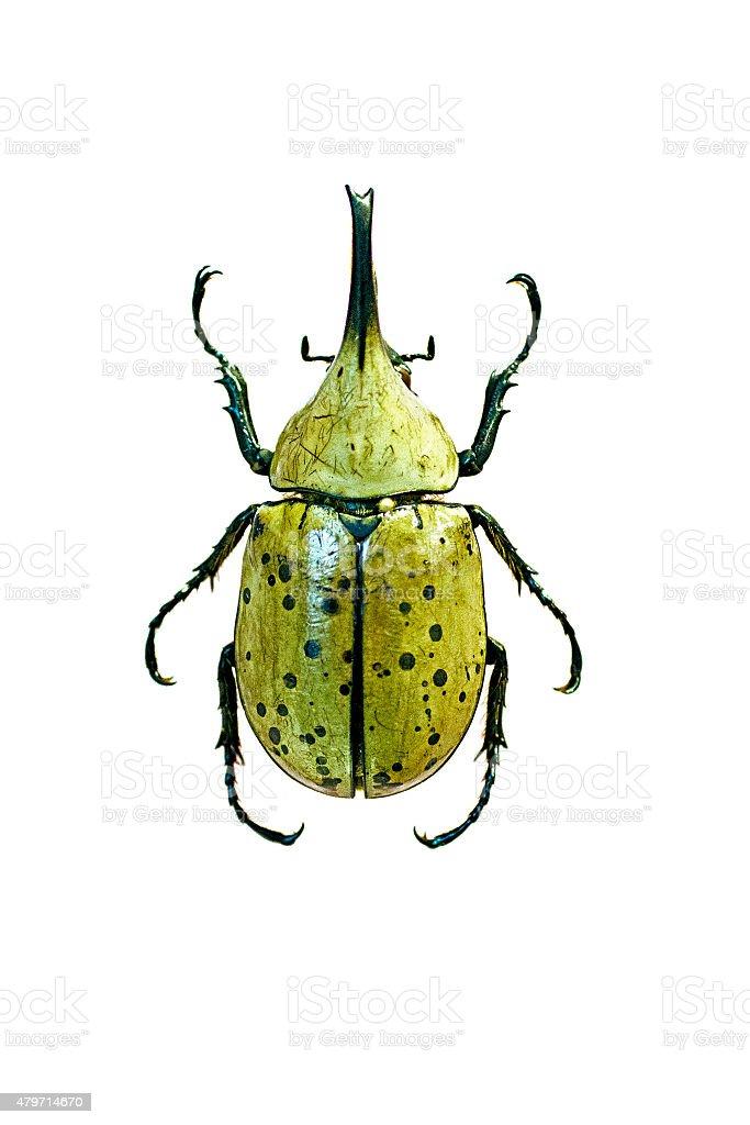 male western hercules beetle, Dynastes granti, mounted stock photo