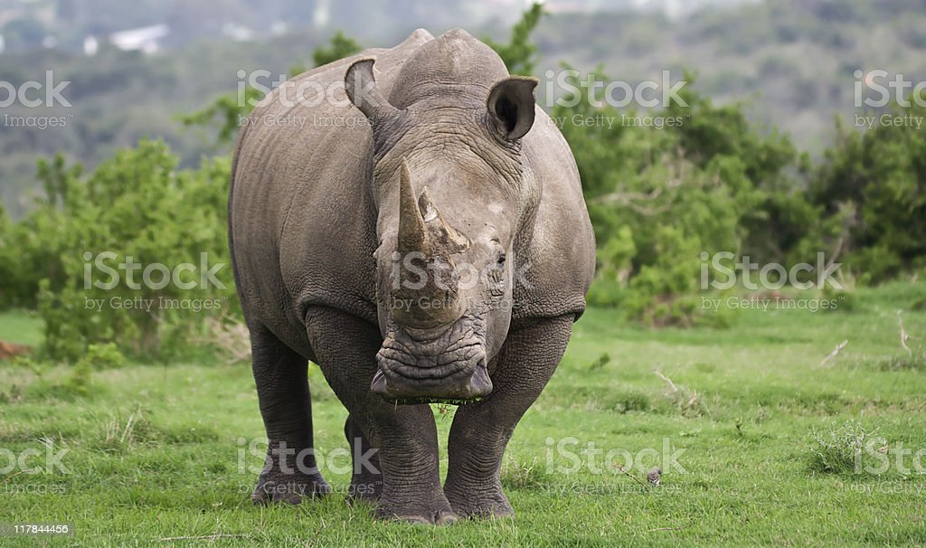 A male white rhino in its natural habitat stock photo