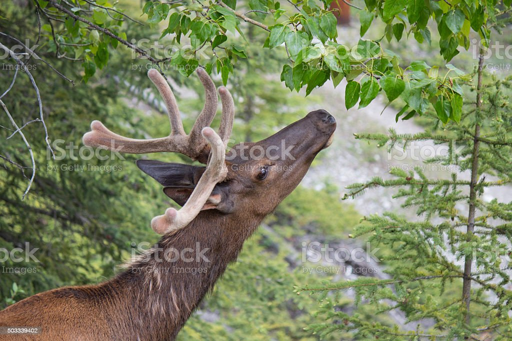 male white-tail deer reaching for leaves stock photo