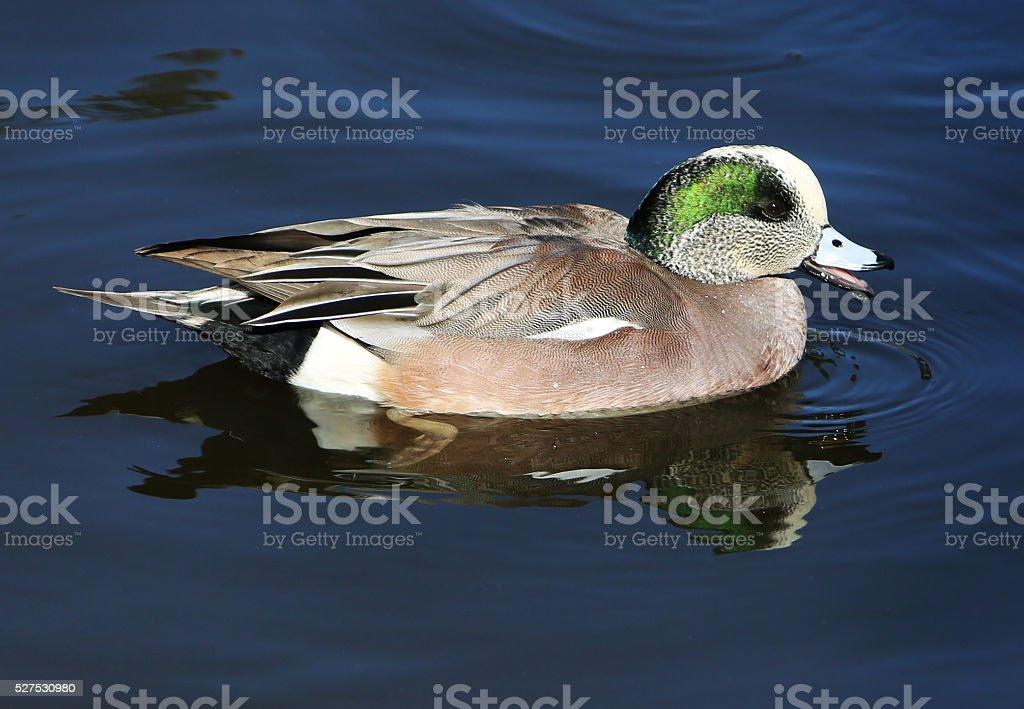 Male Wigeon Duck Drake stock photo