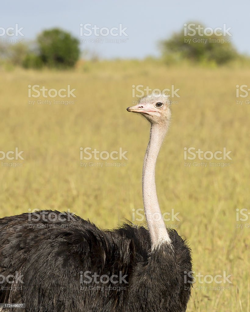 Male Wild African Ostrich royalty-free stock photo