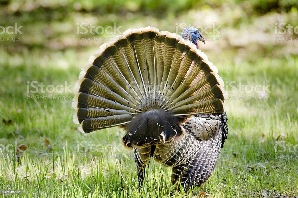 Male Wild Turkey, California stock photo