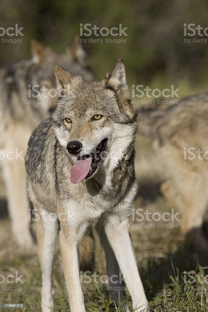 Homme loup se dresse devant du sac photo libre de droits