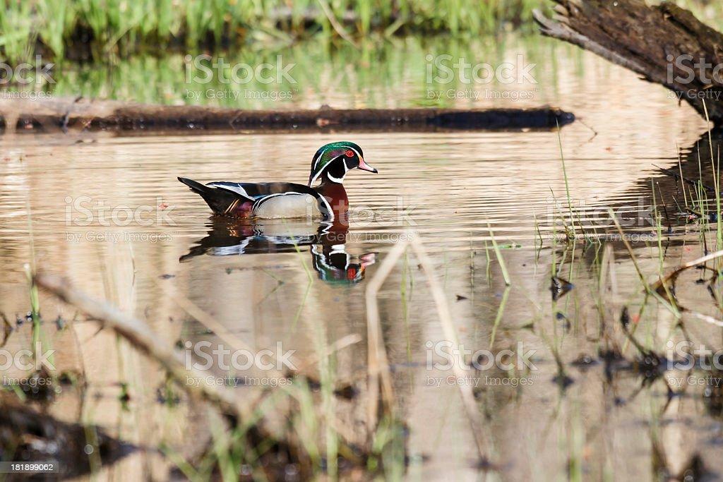 Male Wood Duck (Aix sponsa) In Natural Habitat royalty-free stock photo