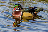 male wood duck on the water Burnaby Canada