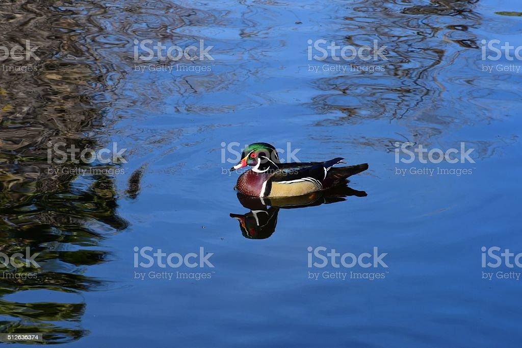 Male Wood Ducks stock photo