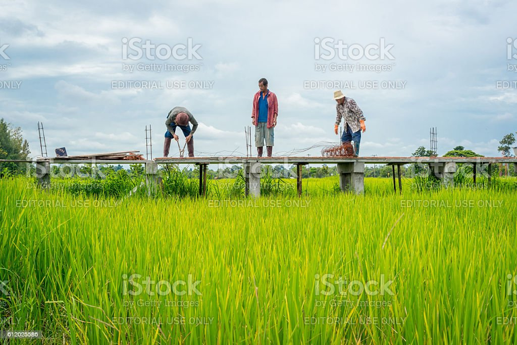 Male workers building elevated walkway in green rice field photo libre de droits