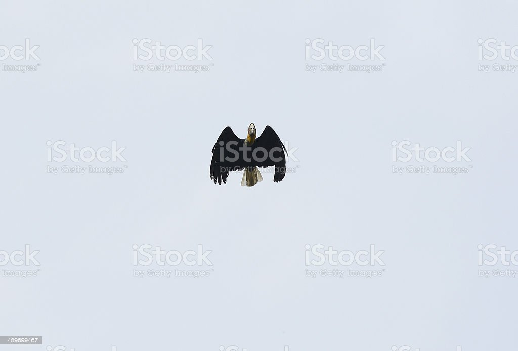 male Wreathed Hornbill (Aceros undulatus) stock photo