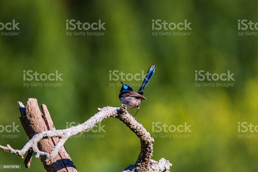 Male Wren Striking a Pose stock photo