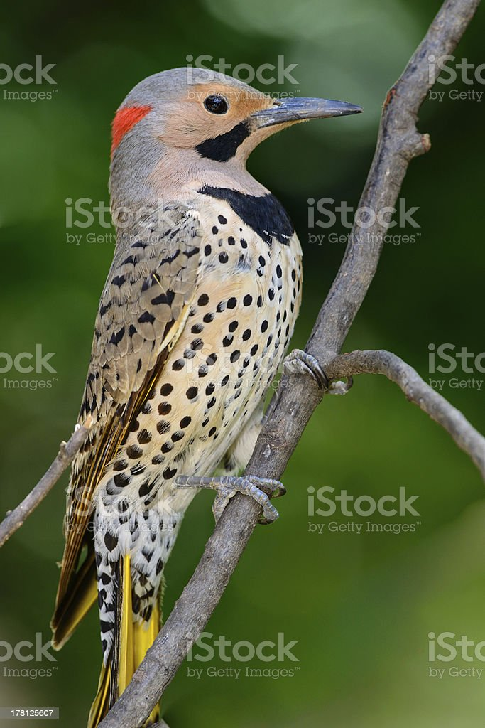 Male yellow shafted northern flicker stock photo