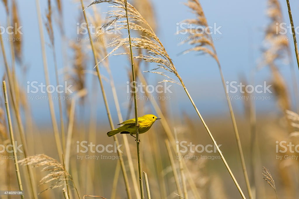 Male Yellow Warbler (Dendroica petechia) On Marsh Grass stock photo