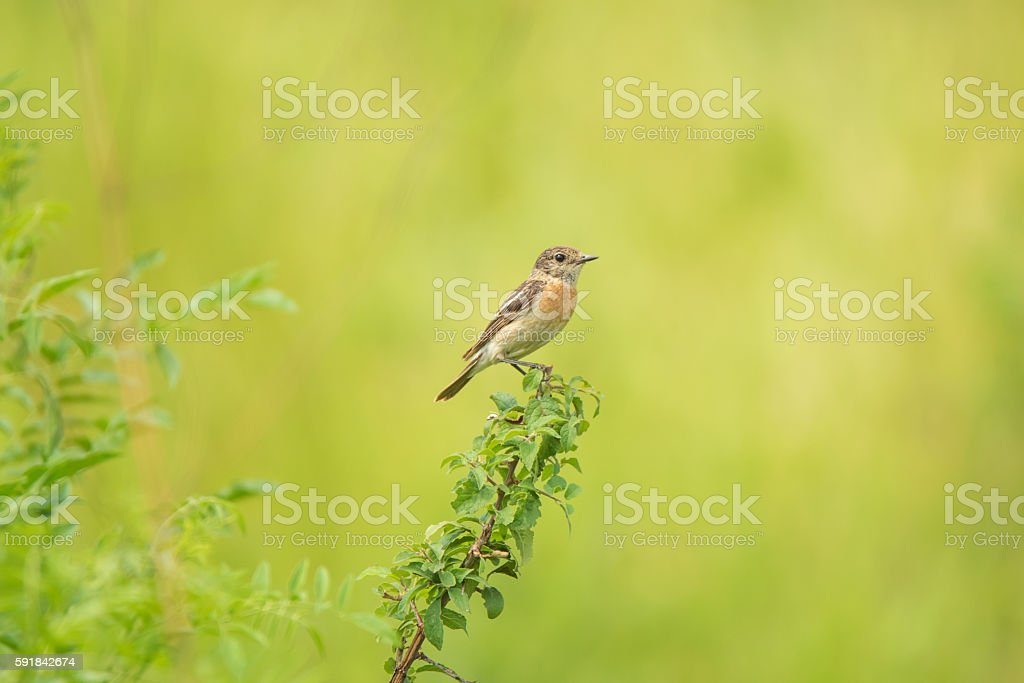 Male young Europian stonechat stock photo