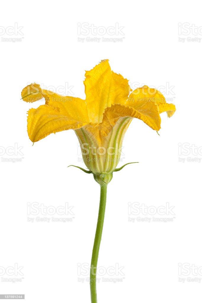 Male zucchini flower stock photo