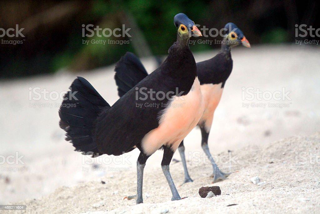 Maleo sengkawor (Macrocephalon maleo) stock photo