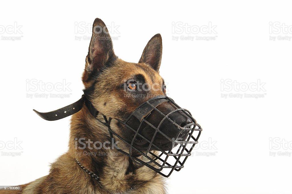 malinois and muzzle stock photo