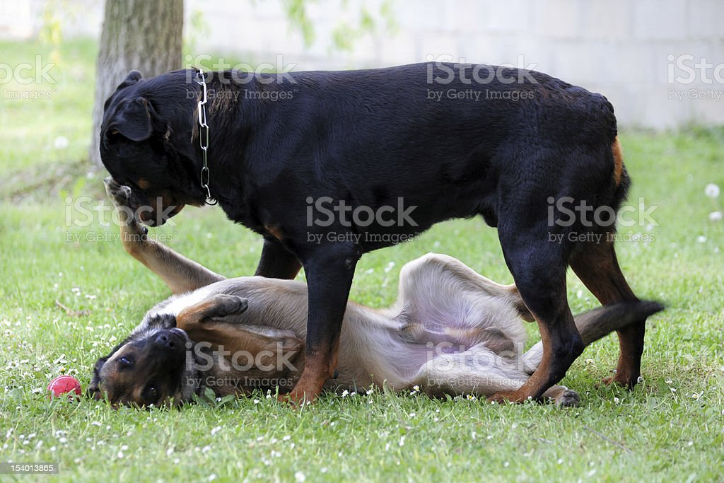 malinois and rottweiler stock photo