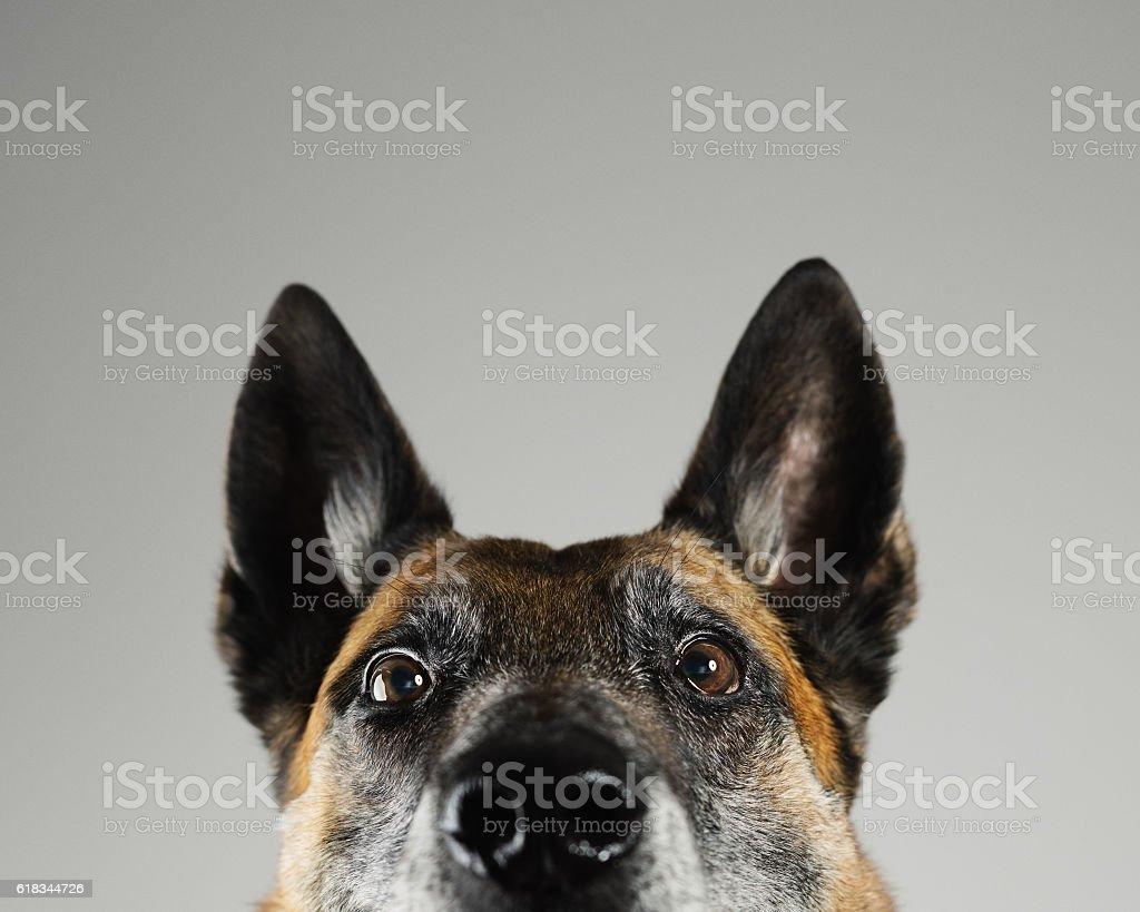 Malinois dog studio portrait stock photo