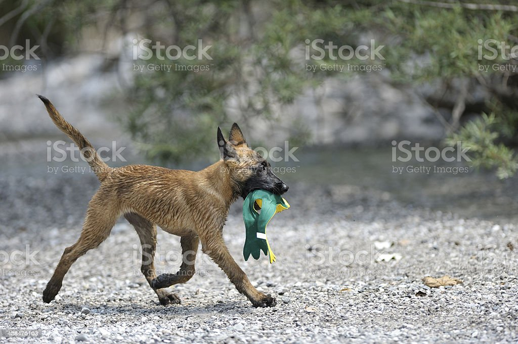 Malinois puppy dragging a toy on the river bank royalty-free stock photo