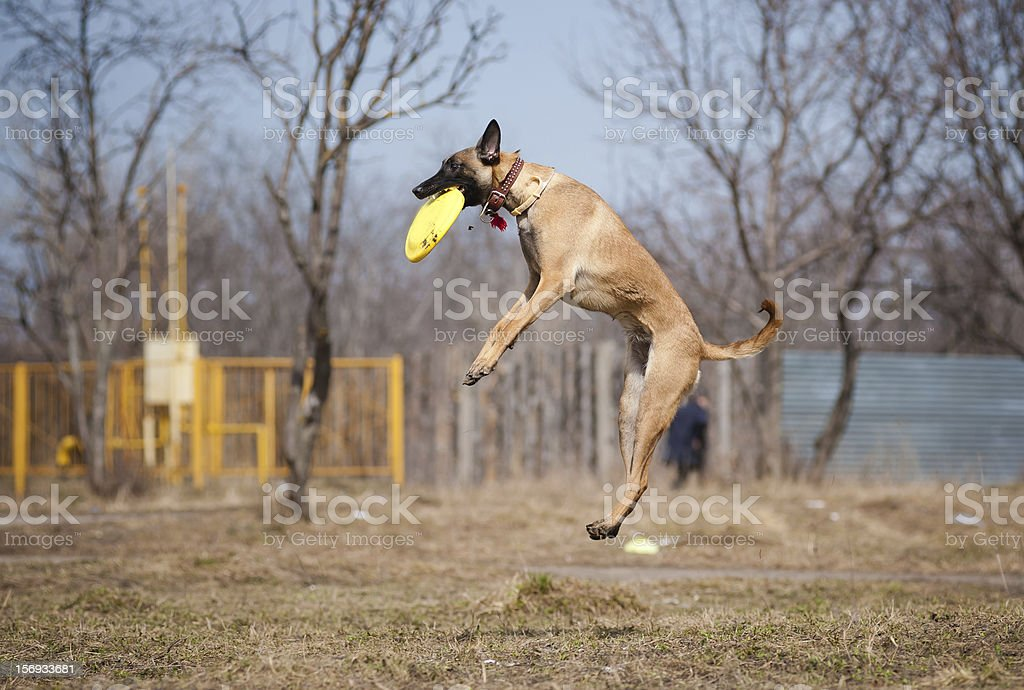 Malinois Shepherd catching disc in jump royalty-free stock photo