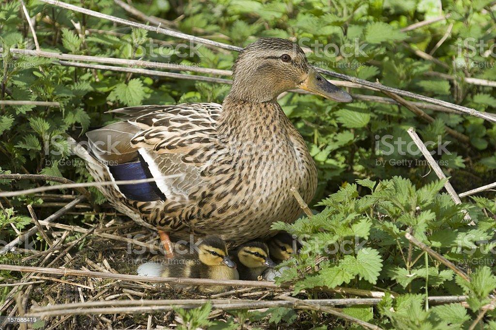 mallard [Anas platyrhynchos] wild duck royalty-free stock photo