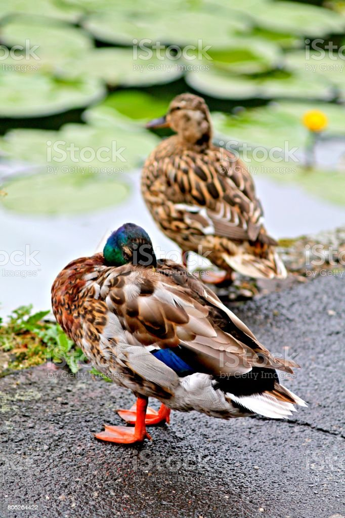Mallard and duck on the riverside. stock photo