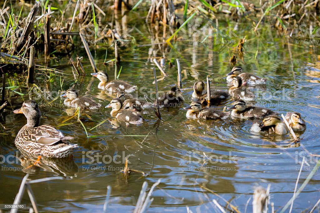 Mallard and Kids stock photo