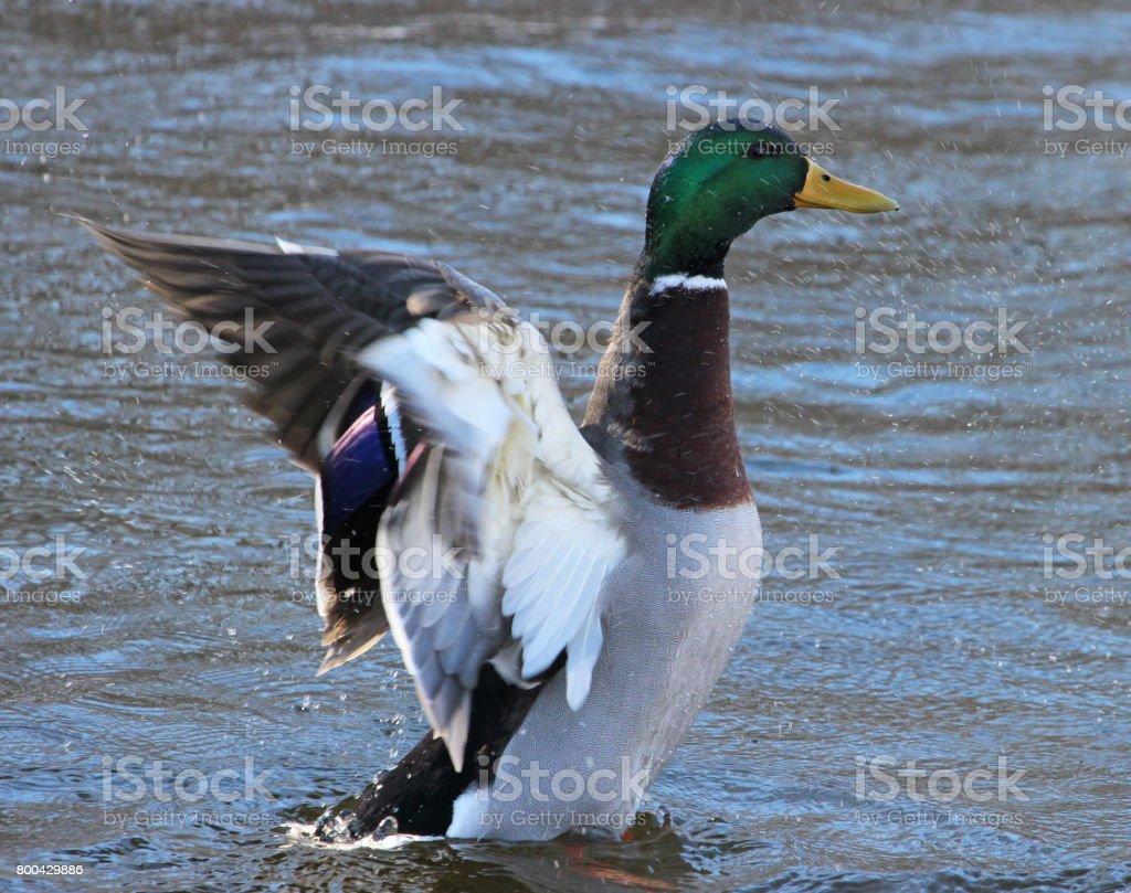 Mallard bath stock photo
