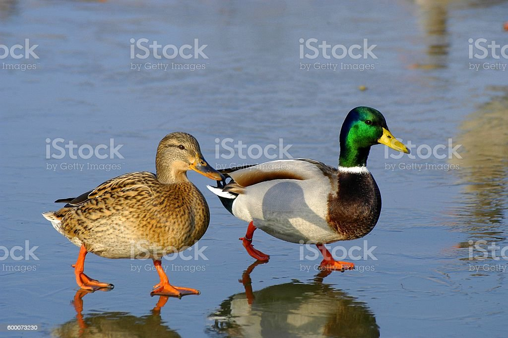 Mallard Couple stock photo