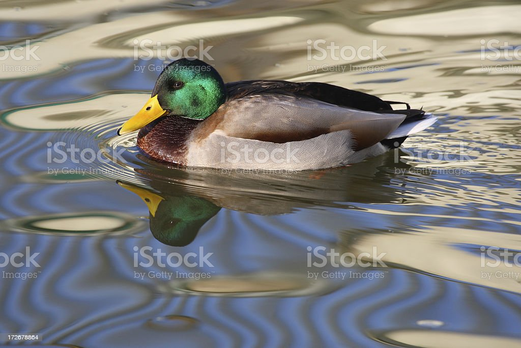Mallard Drake In Rippled Water stock photo