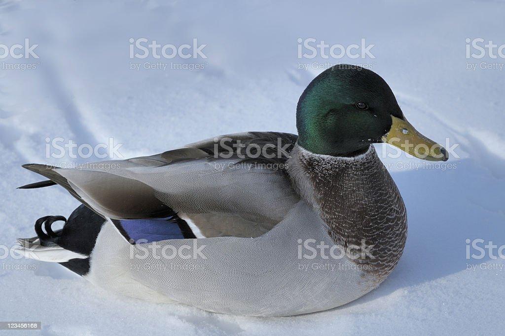 Mallard Drake on Snow stock photo